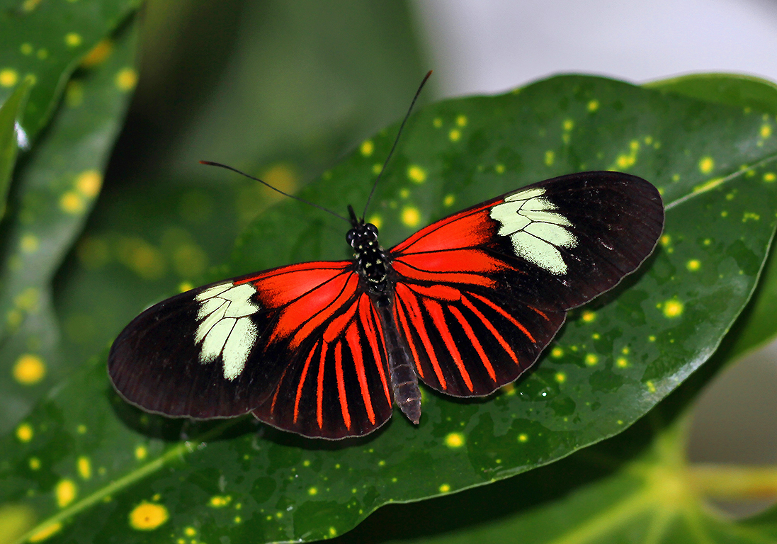 Roter Schmetterling Black And Red Butterfly - Photography Forum