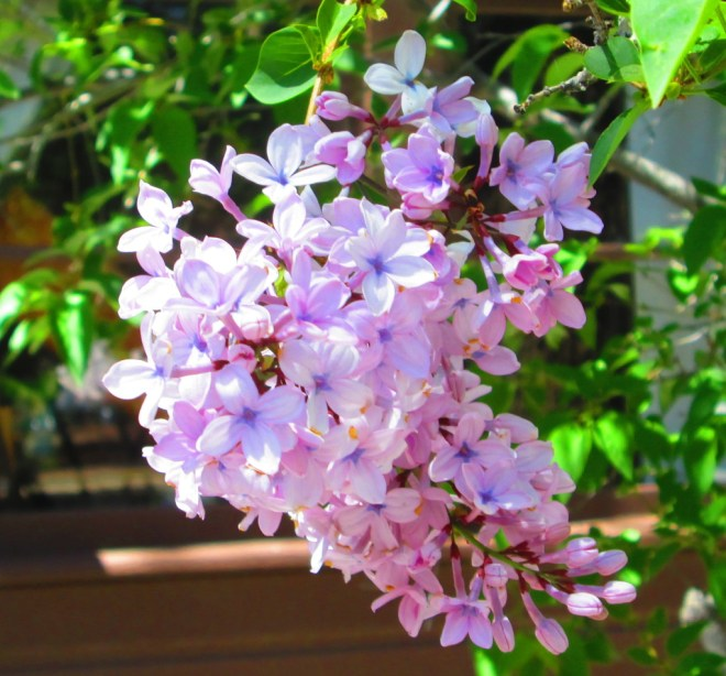 A lilac flower is beautiful to look at on an April morning.