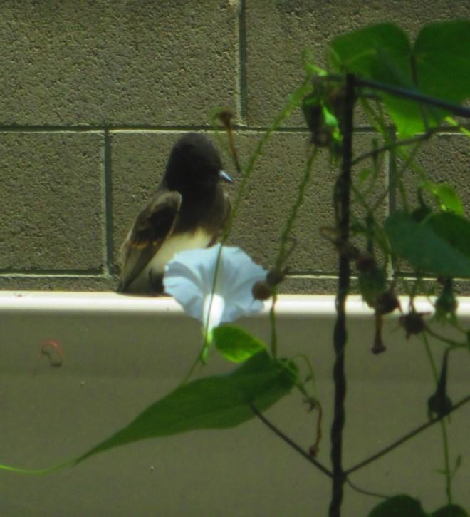 Black Phoebe Bird