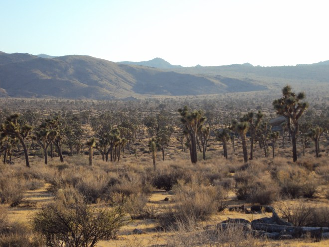 A valley filled with Joshua trees.