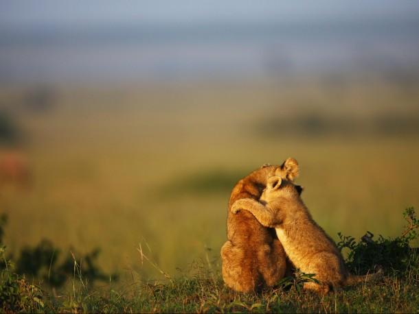 Cute Cubs Wallpaper Lion Cub Hug Masai Mara Reserve Kenya Photorator