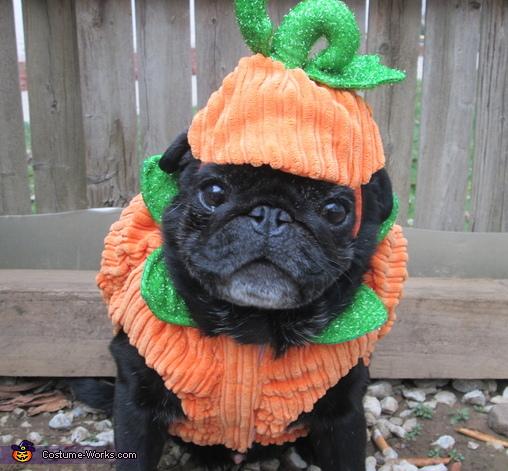 Cute Shih Tzu Puppies Wallpaper Pumpkin Pug Costume