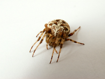How to Identify Brown Spiders Sciencing