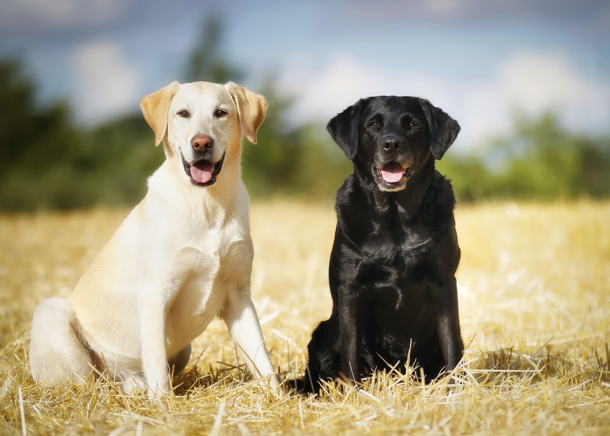 Black Lab Dog Male Difference Between Female And Male Labrador Retrievers