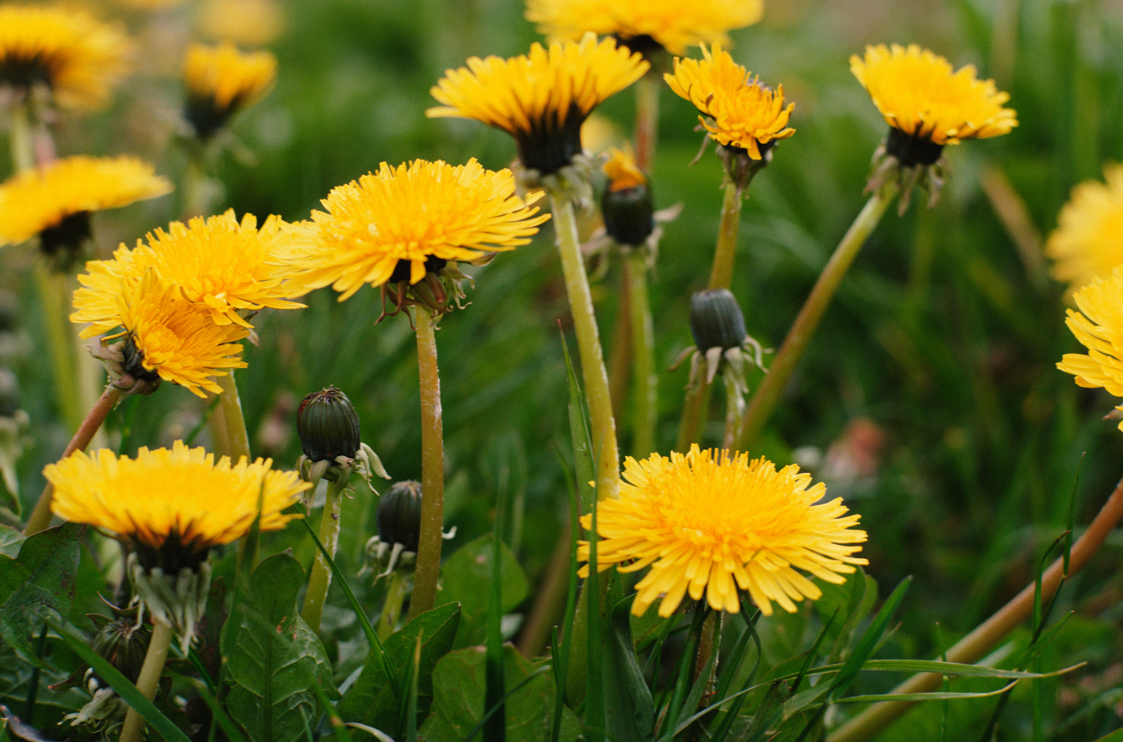Homemade All Natural Dandelion Weed Killer Home Guides