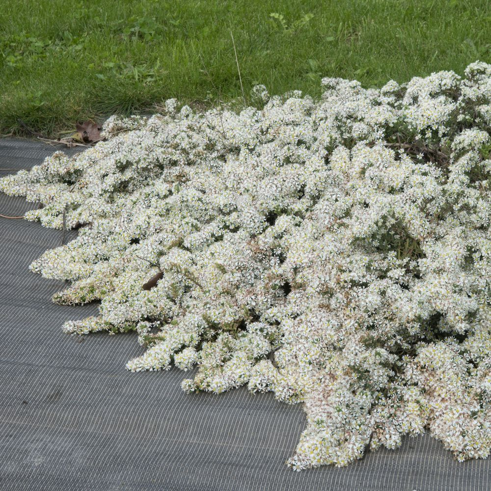 Temperature Exterieur Aster Rampant 'snow Flurry' Lot De 3 Godets De 7 Cm - Gamm