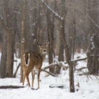 Whitetail Doe by Snow