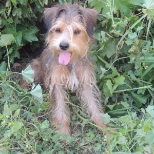 Image For Adopt A Border Terrier Dog Breeds Petfinder