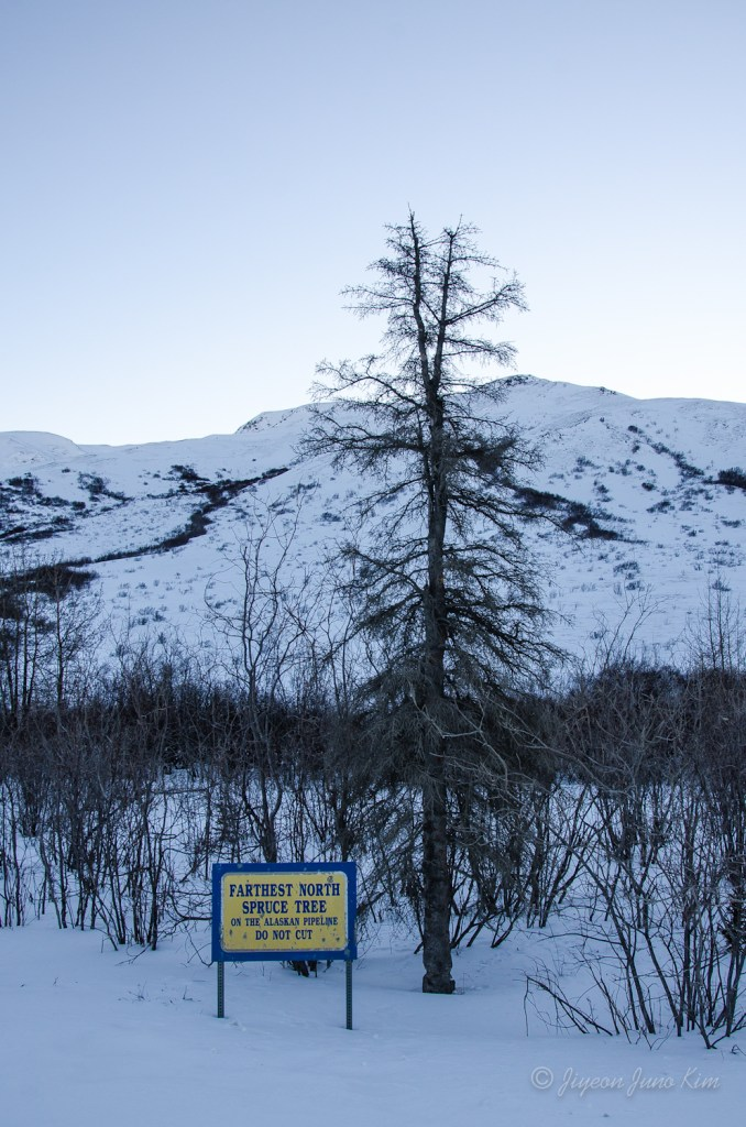 Farthest North Spruce Tree of the Alaskan Pipeline: Trees grow north to the south facing slopes of the Brooks Range. The mountains block cold air coming off of the Arctic Ocean.