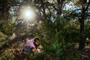 Iris Vega, 12, of Taos, picks piñon pine nuts near Questa