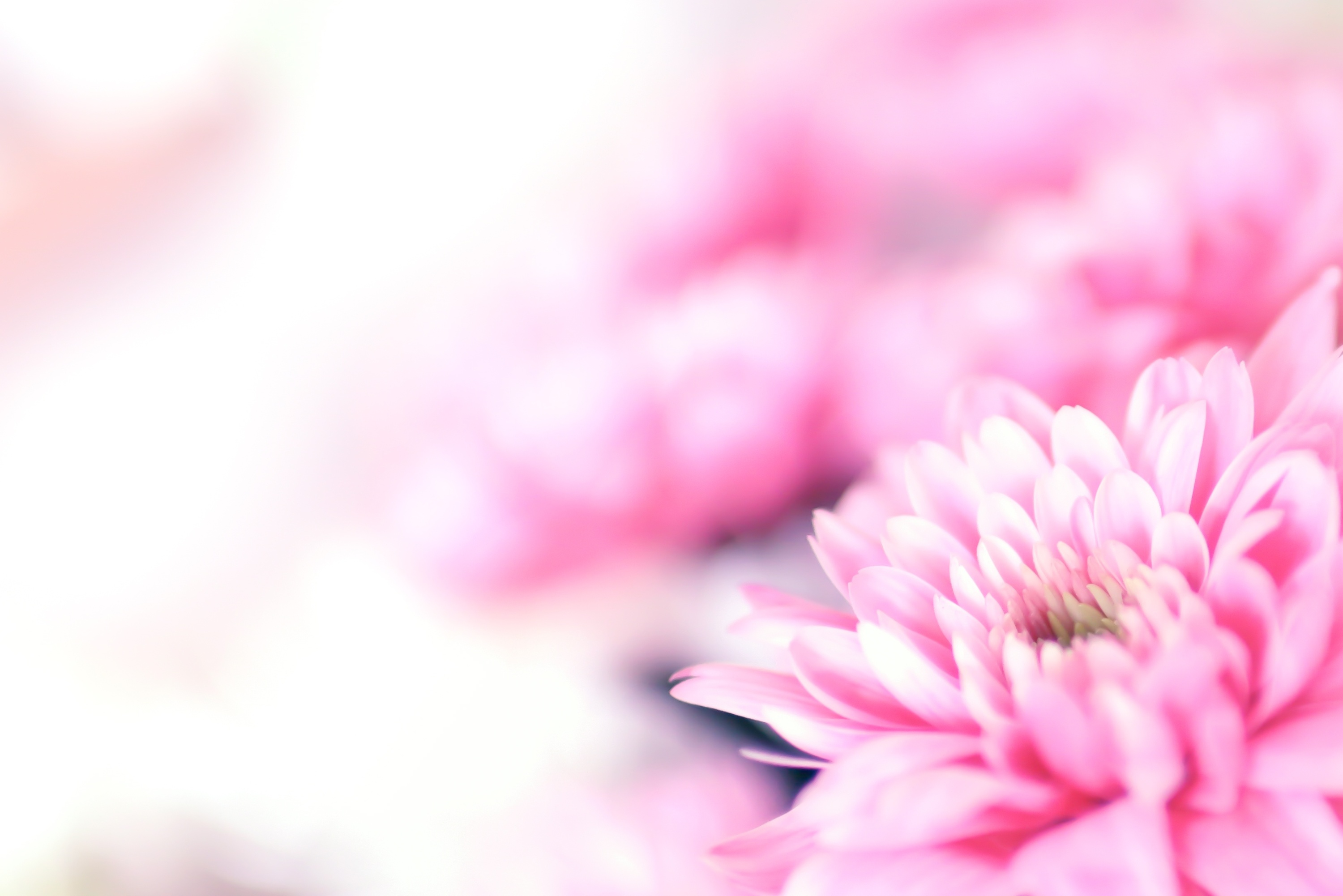 Hd Wallpaper Pack Pretty Pink Chrysantum Flower Background Websites With A