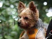 Image For Border Terrier Rescue Leeds