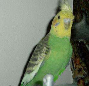 Cute Parakeet Wallpaper Green Cockatiels