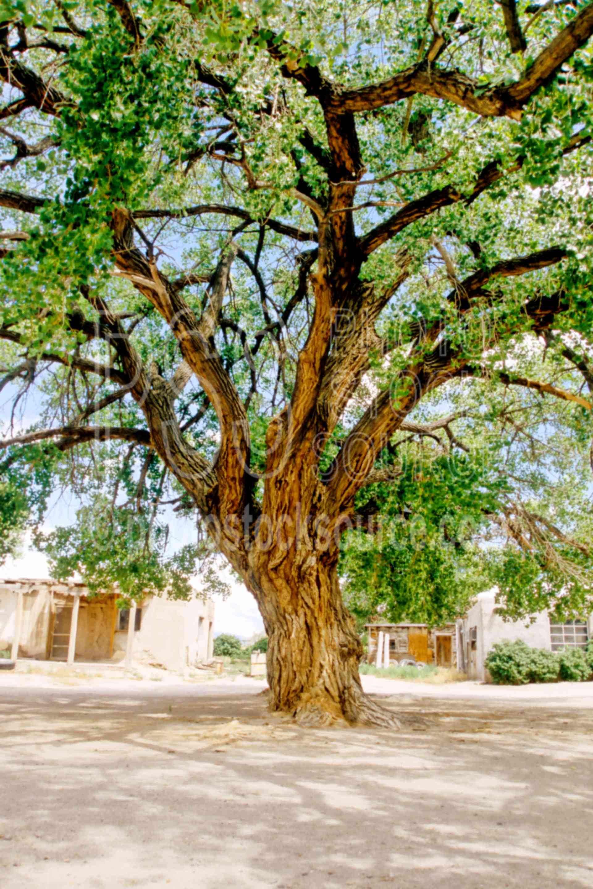 Usa Shade Photo Of Bigtree By Photo Stock Source Tree San Ildefonso Pueblo