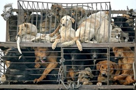 An update on the illegal dog meat trade in Thailand