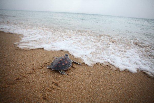 Phuket's 4th Mai Khao Turtle Release