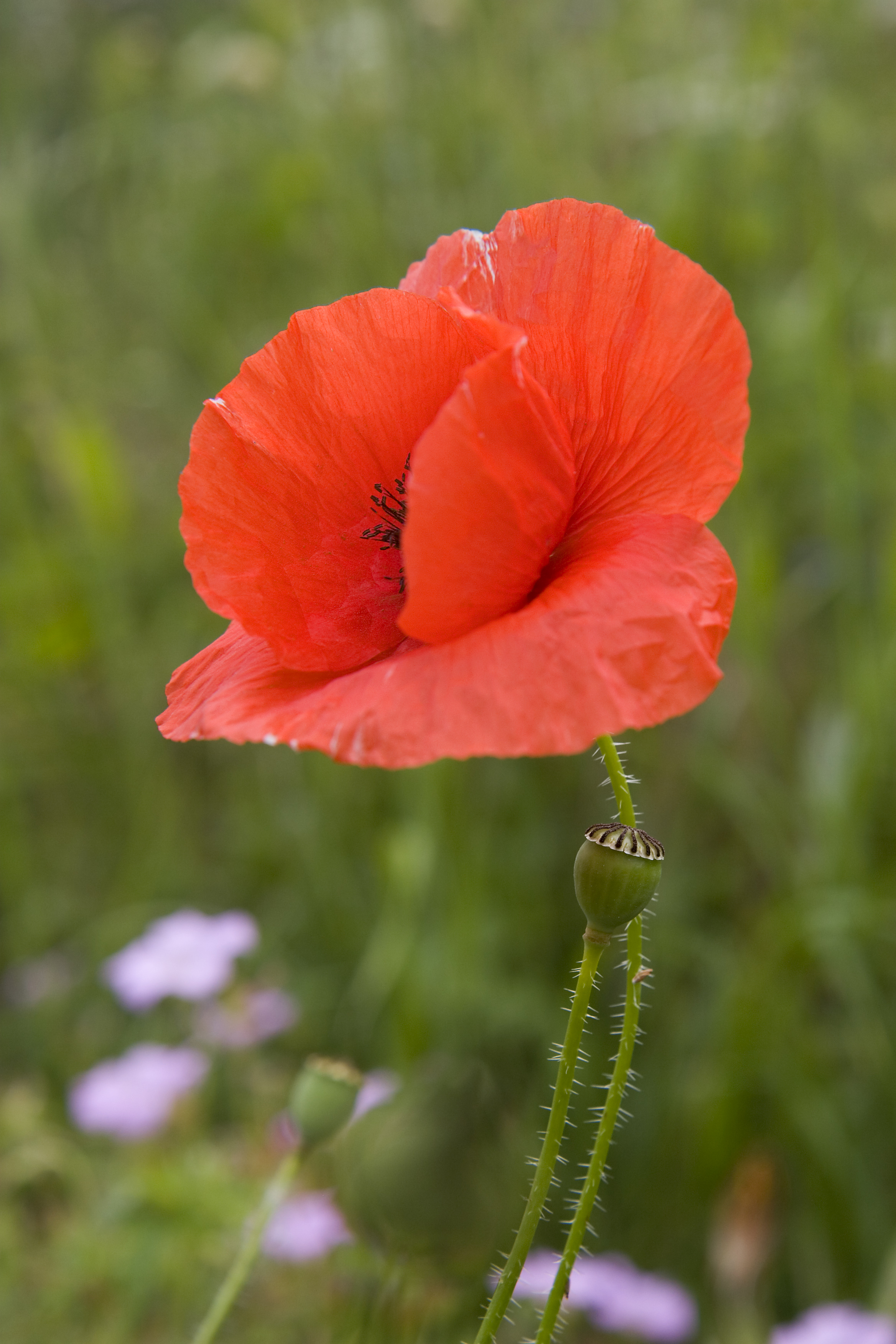Poppy Wallpaper For Iphone Poppies Yes Now They Ll Sleep The Phytophile
