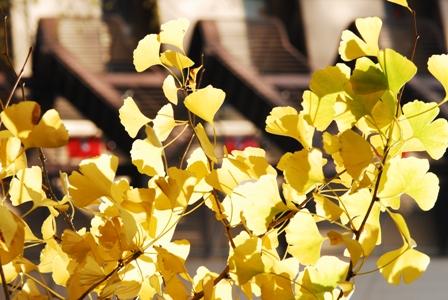 東京採訪… Day 6 飄落著銀杏的天空