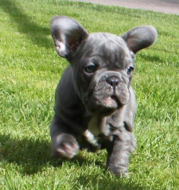 Gesunde Welpen Französische Bulldoggen Rüde Hündin Solid Blue Schoko