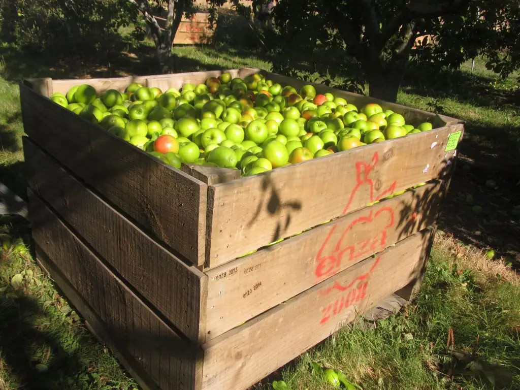 Fruit Bins For Sale Apple Picking In New Zealand Fruit Picking Jobs And Farm