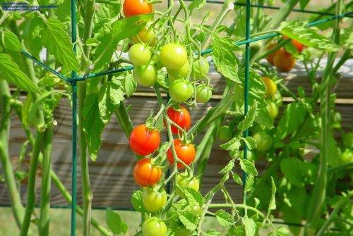 Medium Of Sweet 100 Tomato