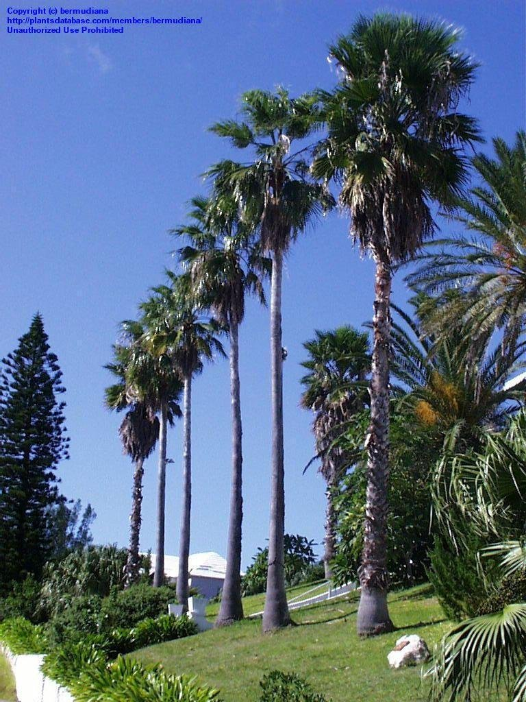Large Of Mexican Fan Palm