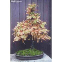 Small Crop Of Dawn Redwood Bonsai