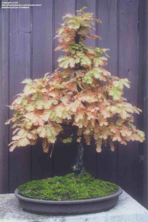 Medium Of Dawn Redwood Bonsai