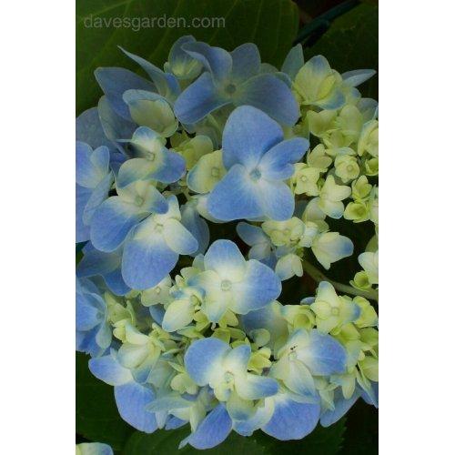 Medium Crop Of Nikko Blue Hydrangea