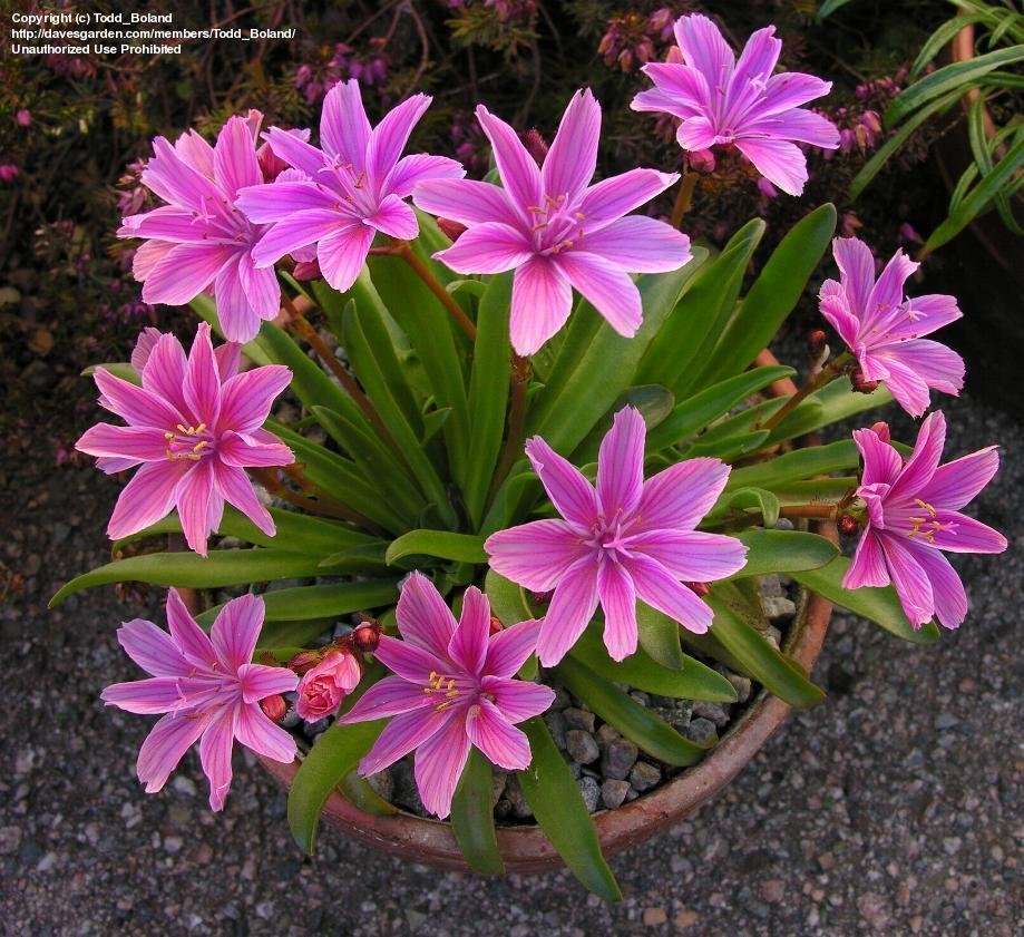 Plantfiles pictures lewisia cliff maids truckee bitter