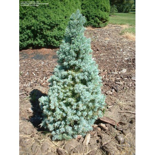 Medium Crop Of Globe Blue Spruce