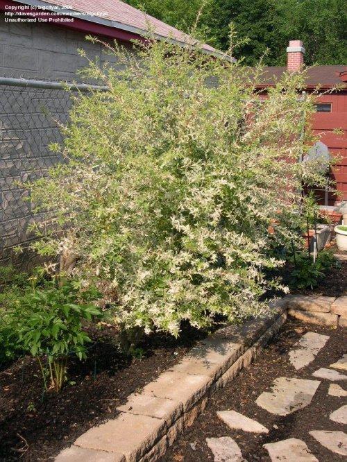 Medium Of Dappled Willow Tree