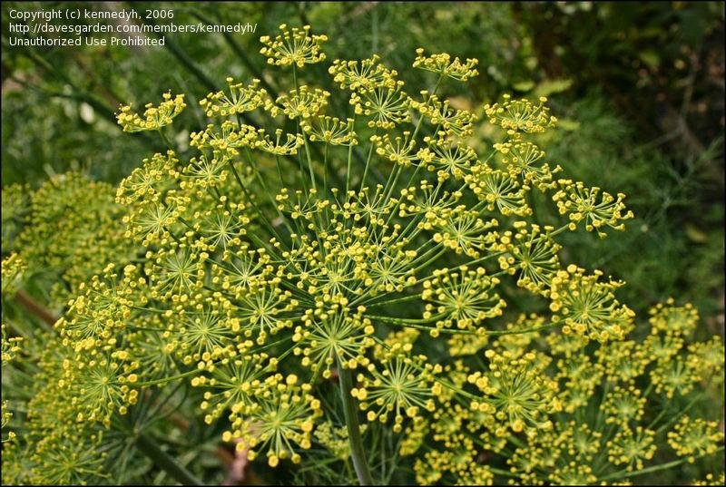Head Of Dill Plantfiles Pictures: Dill (anethum Graveolens) By Rosinabloom