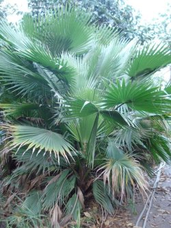Small Of Mexican Fan Palm