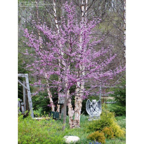 Medium Crop Of Forest Pansy Redbud