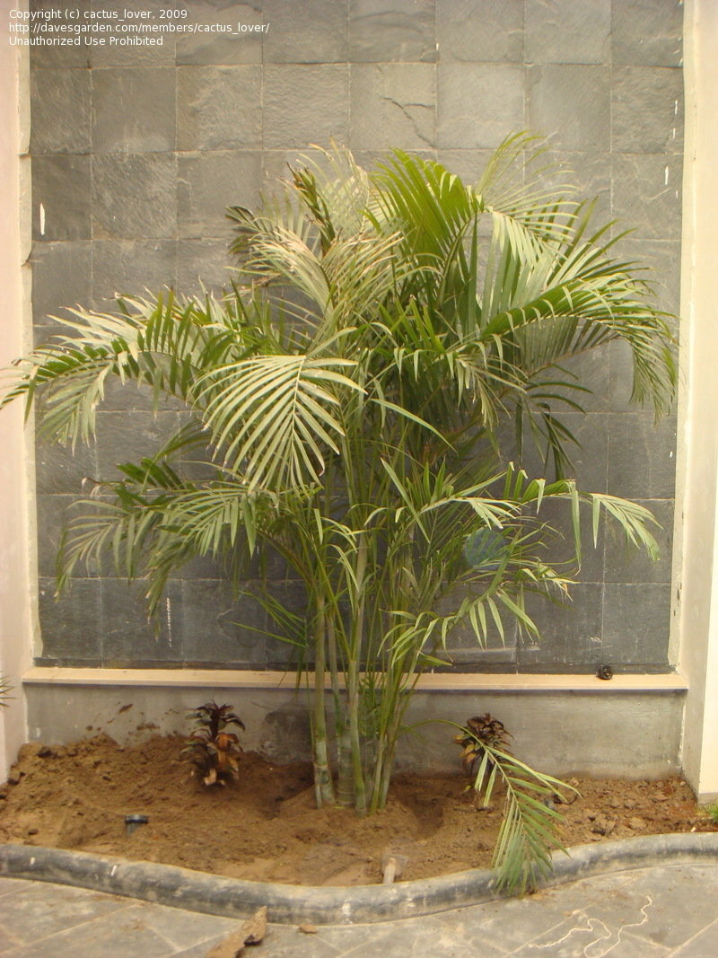 Butterfly Palm Madagascar Palm Areca Palm Chrysalidocarpus Plantfiles Pictures Dypsis Species Areca Palm Butterfly Palm