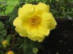 Harison S Yellow Rose