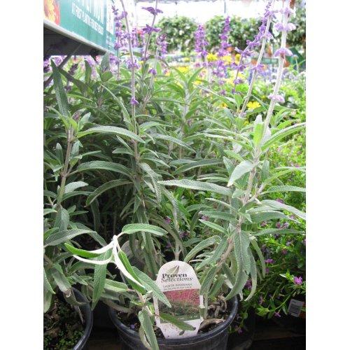 Medium Crop Of Mexican Bush Sage