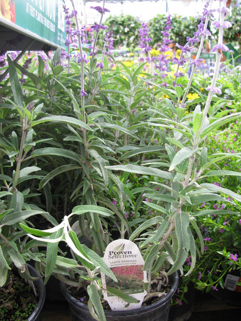 Large Of Mexican Bush Sage