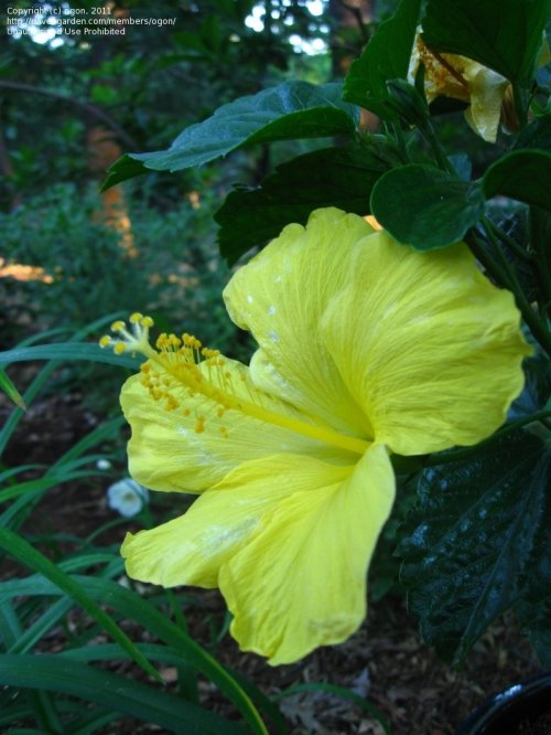 Medium Of Hibiscus Yellow Leaves