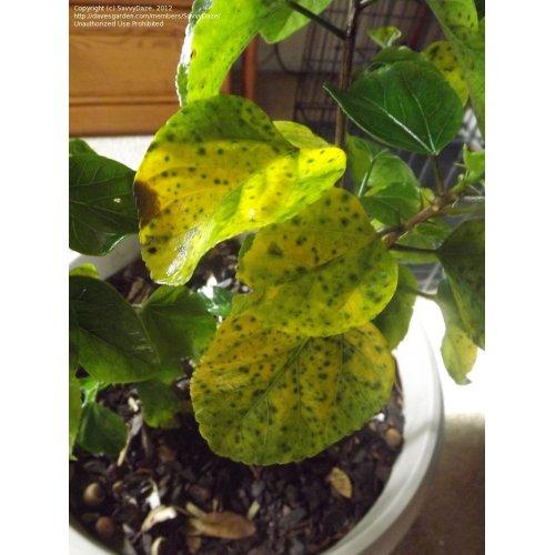 Medium Crop Of Hibiscus Yellow Leaves
