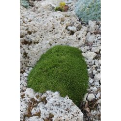 Small Crop Of Irish Moss Ground Cover