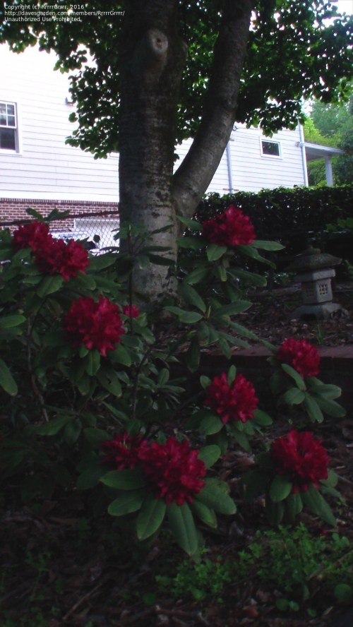 Medium Of Nova Zembla Rhododendron