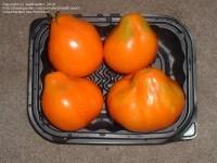 PlantFiles Pictures: Tomato 'Aladdin's Lamp' (Lycopersicon ...