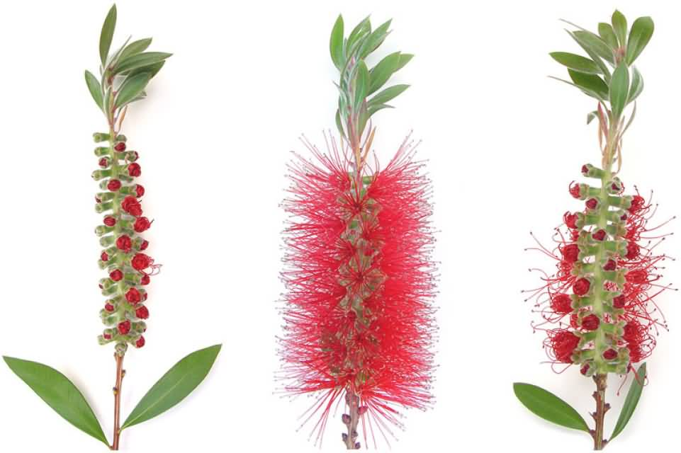 Fall Wallpaper Pintrest 41outstanding Bottlebrush Flower For Flower Lovers