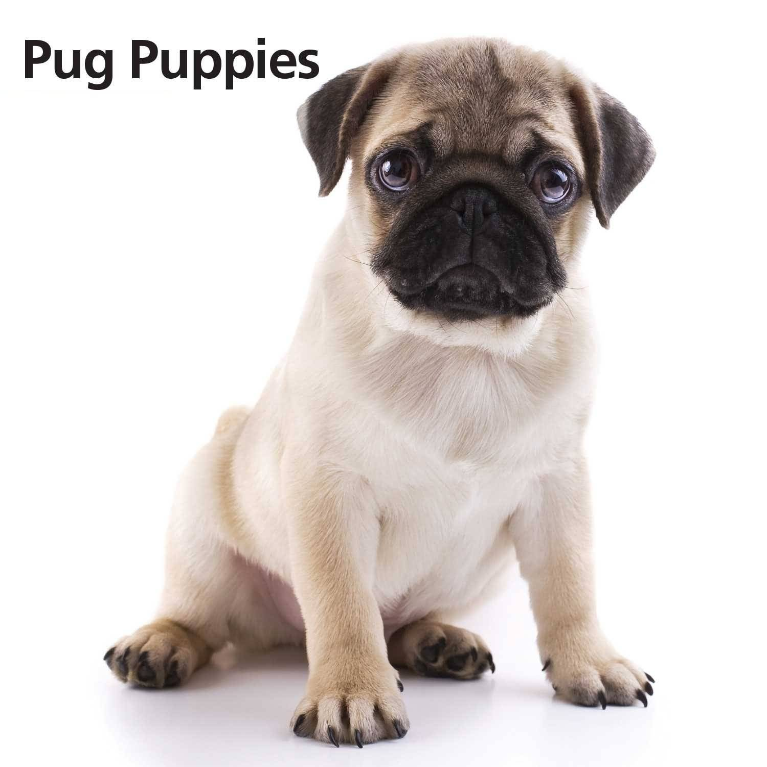 Fall Wallpaper Pintrest Mind Blowing Small Pug Dog Baby White Background Picsmine