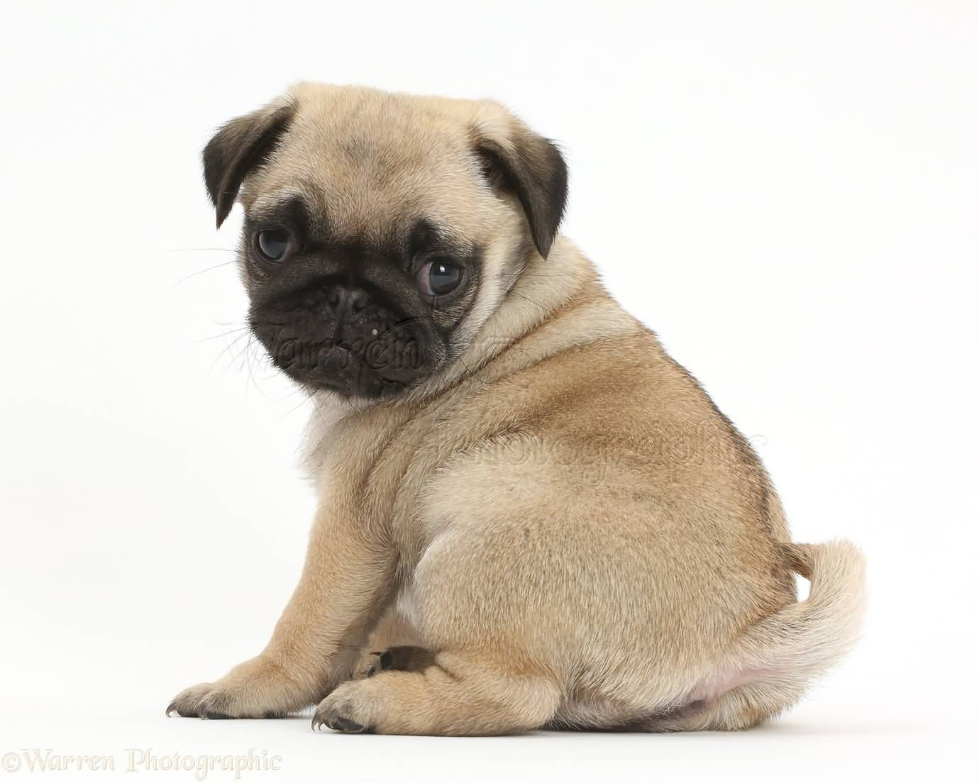 Cute Puppies Wallpapers With Quotes Superb Small Pug Dog Baby Wallpaper For Desktop Picsmine