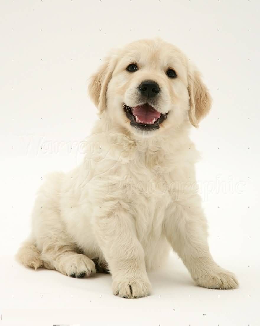 Cute Little Puppies Wallpapers Unique White Golden Retriever Baby Dog With White