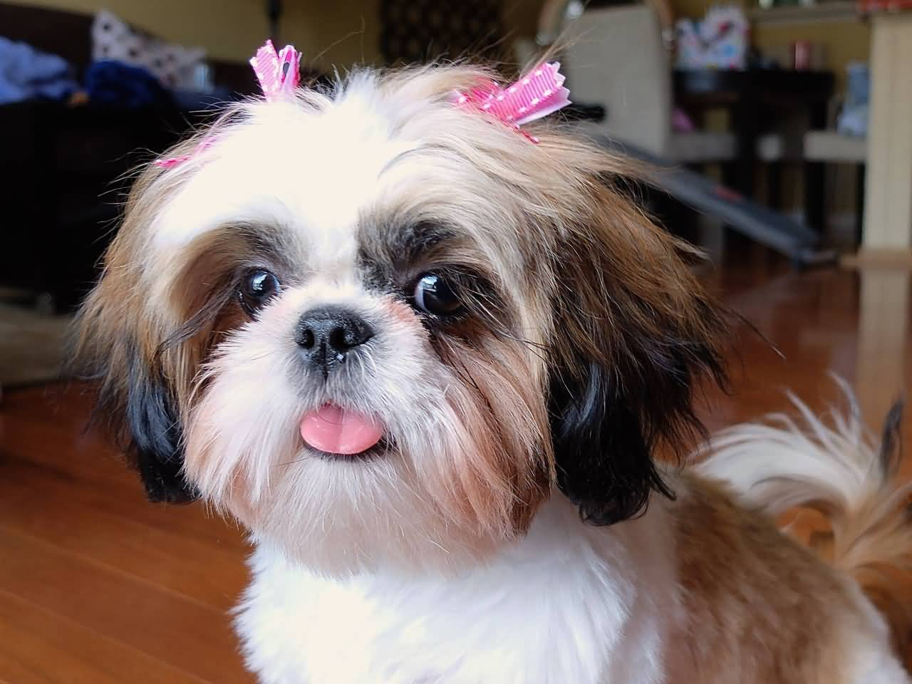 Cute St Patricks Day Wallpaper Very Nice Female Shih Tzu Dog In Home Picsmine