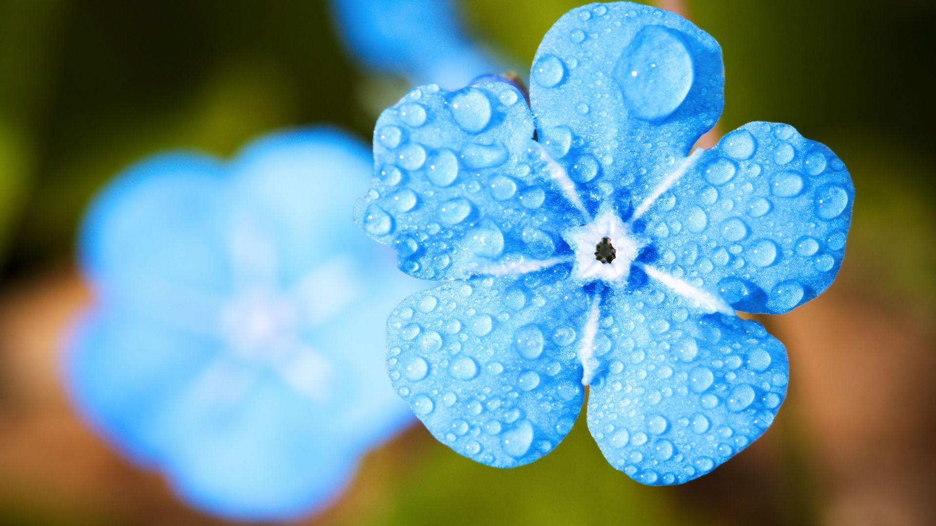 Spring Flowers 3d Live Wallpaper Desktop Wallpaper Blue Flower Close Up Water Drops Hd